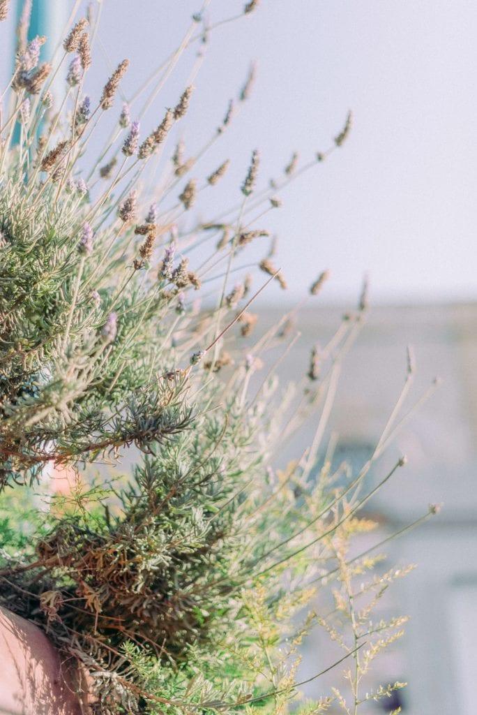 lavender shrubs . Photography by Cristina Ilao www.cristinailao.com