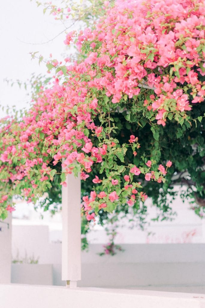 pink bougainvillea vines