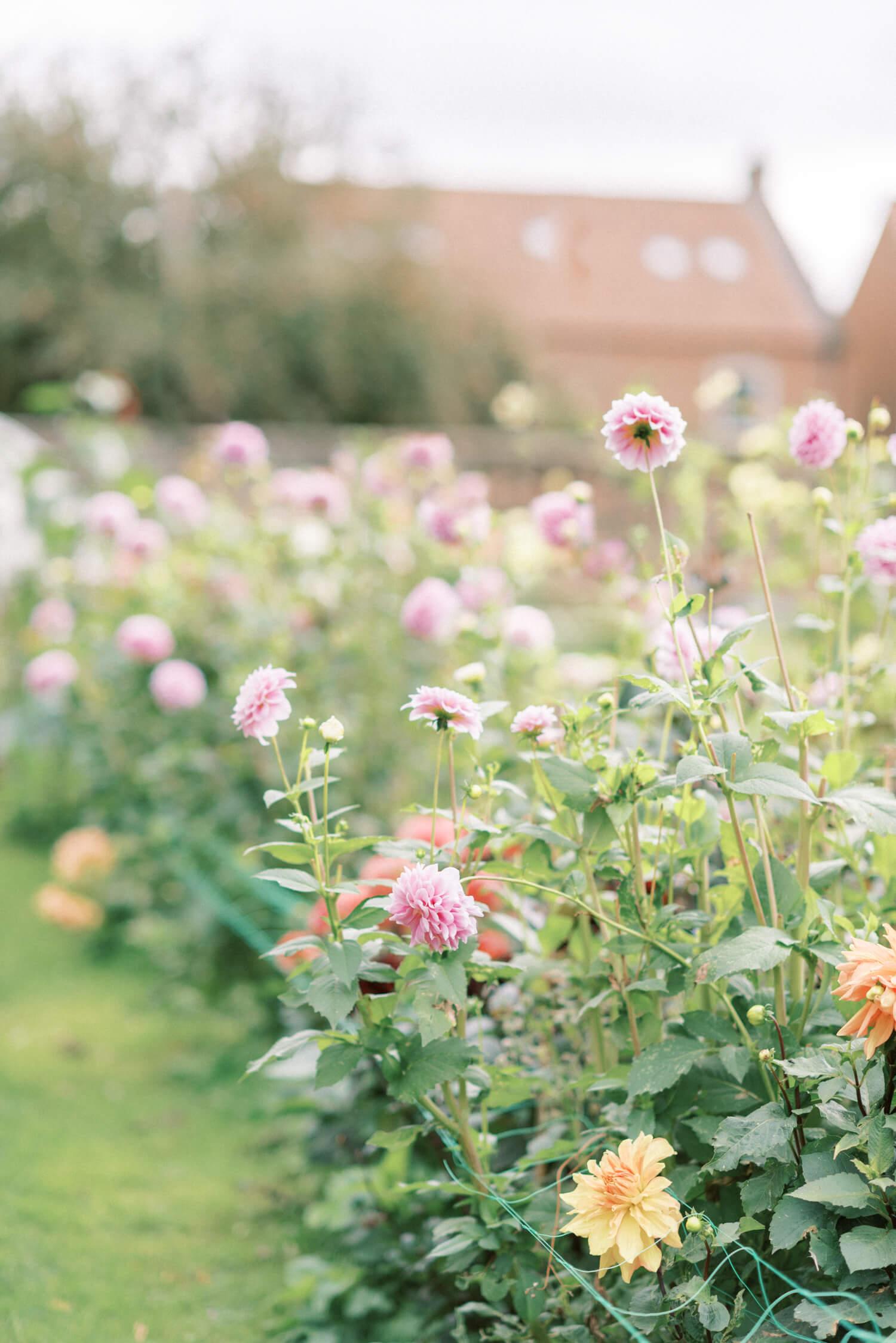 Holme Flower Farm in Thirsk North Yorkshire during dahlia season
